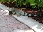 Iguana walking across the sidewalk